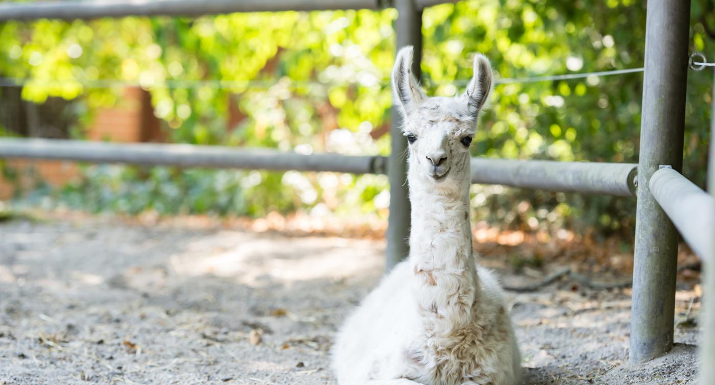 Lamas sind zu süß, Damwild zu teuer: Manches Fleisch will keiner essen
